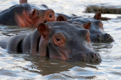Forex Articles - Hungry Hippos and the IMF