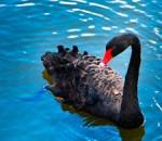 Between the Lines - Black Swan Theories